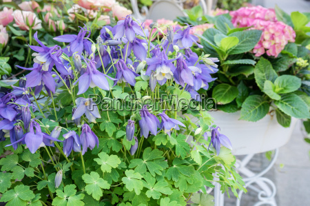 potted flowers with violet columbine