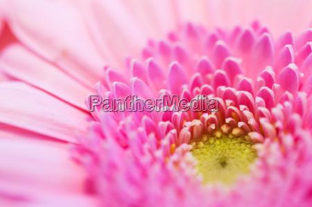 abschluss oben der schoenen rosa gerberablume