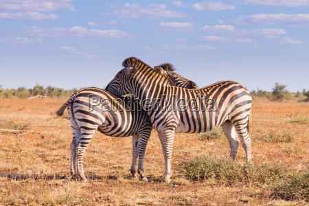 paar zebras aus dem kruger nationalpark