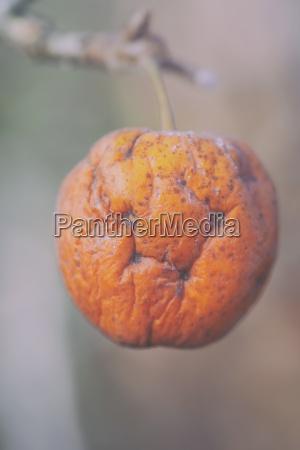 old apple autumn