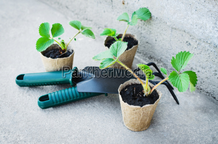 strawberry plants and seedlings with gardening