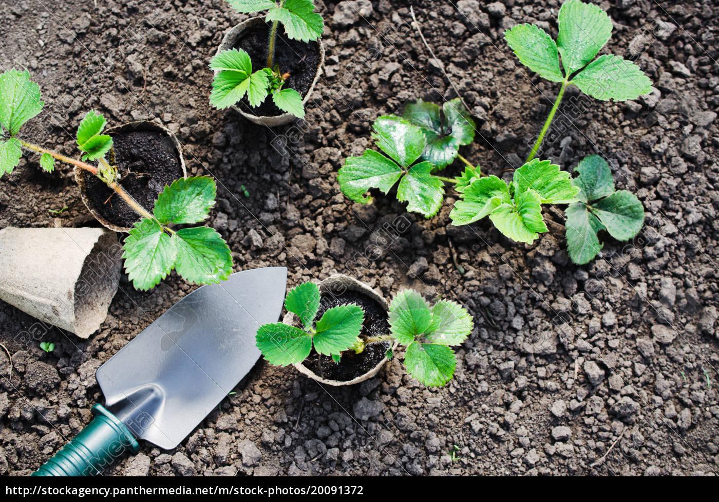 erdbeerpflanzen, und, seedlings, mit, gartenbauwerkzeugen., konzept - 20091372