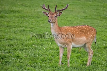 fallow deer in the wild
