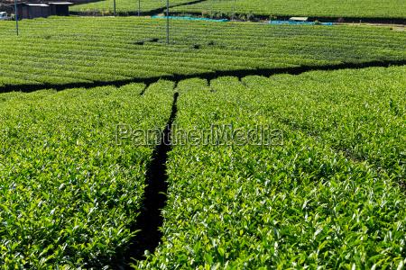 green tea tree garden