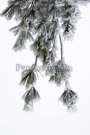 schnee bedeckte kiefer branchen