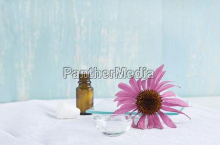 globules and blossom of purple coneflower