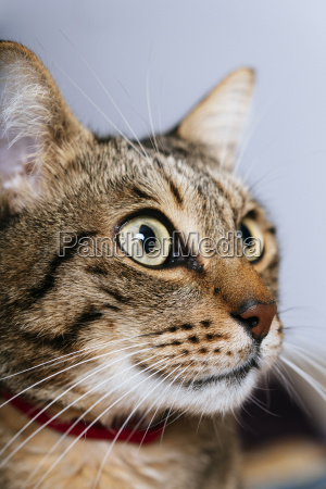 portrait of tabby cat close up