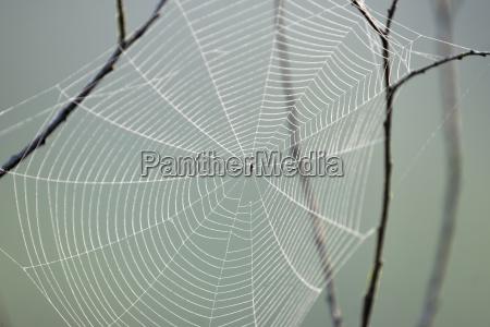 kreuzspinne im spinnennetz