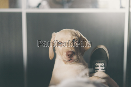 portrait of labrador retriever puppy