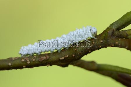 grub of woolly alder sawfly on