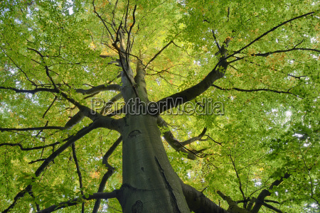 germany low angle view of beech