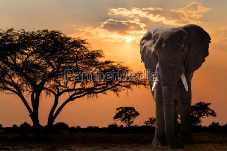 afrika sonnenuntergang ueber akazienbaum und elefant