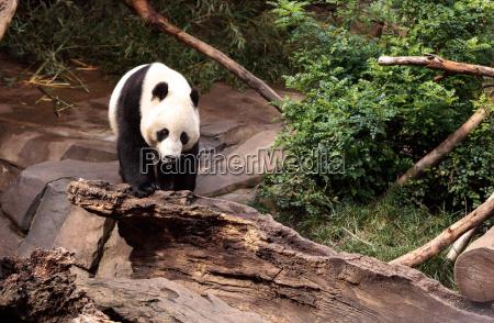 baer bambus porzellan panda natur china