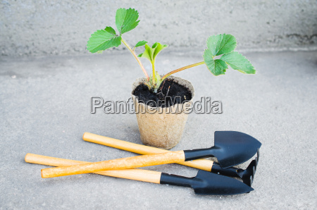 strawberry plants with gardening tools