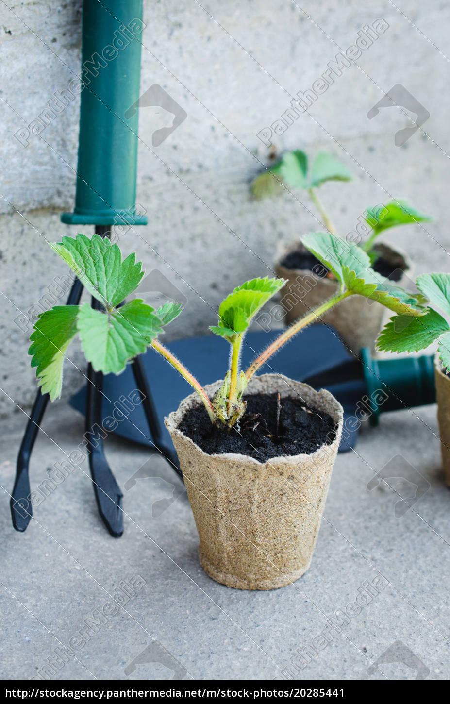 erdbeerpflanzen, mit, gartenbauwerkzeugen. - 20285441
