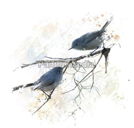 blue gray gnatcatchers watercolor