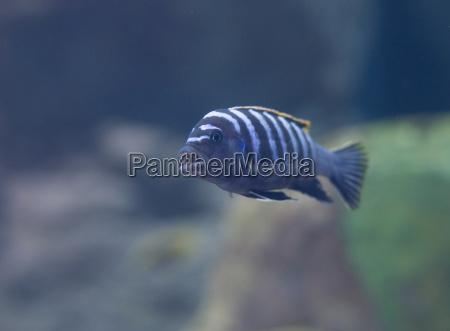 blau farbe tier haustier aquarium fisch