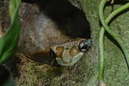 nahaufnahme eines pfeilgiftfrosches