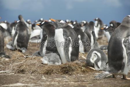 colony of gentoo penguins at volunteer