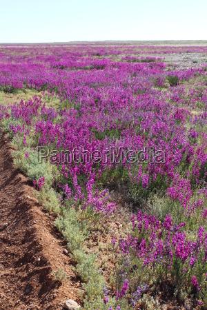 australias blooming desert in august