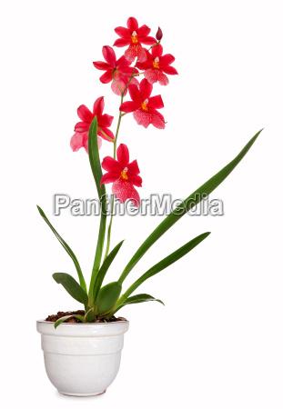 burragerara orchid