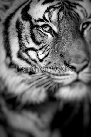 nahaufnahme eines fokus tigers faceselective