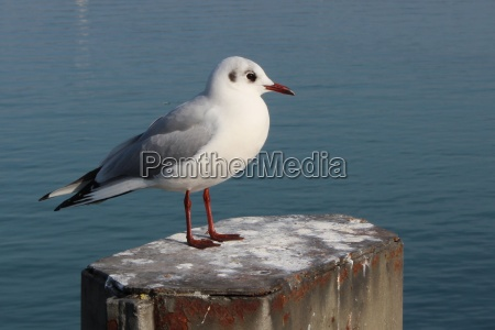 a black headed gull in january