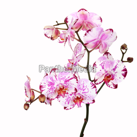 phalaenopsis orchid multicolored