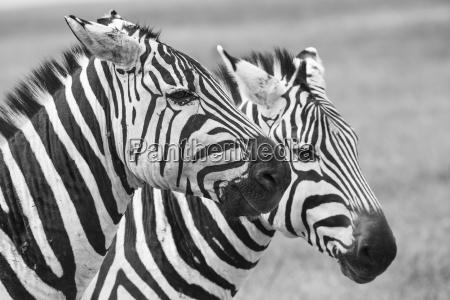 zebra im nationalpark afrika kenia