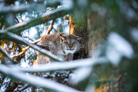 lynx in a winter forest in