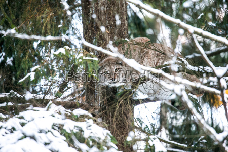 lynx hunting in a winter forest