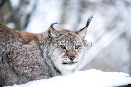 lynx in a winter forest close