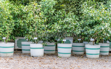 planter bucket with camellia