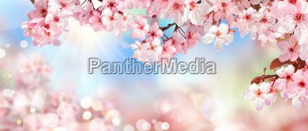 natur szenerie im fruehling kirschbluete bokeh