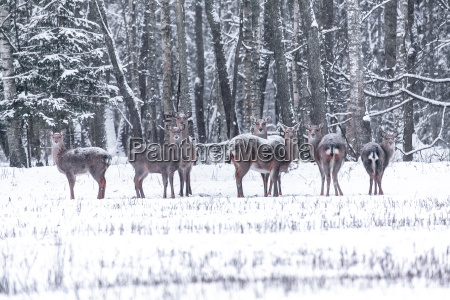 spotted deer in the winter forest