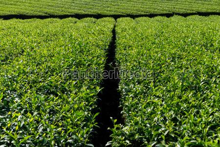 beautiful fresh green tea tree plantation