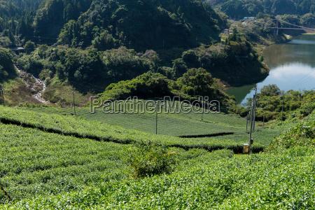 fresh green tea plant