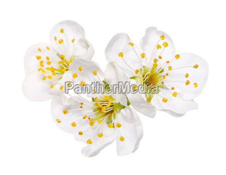 three spring flower apple blossoms isolated