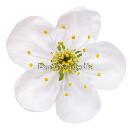 spring flower plum blossoms isolated on