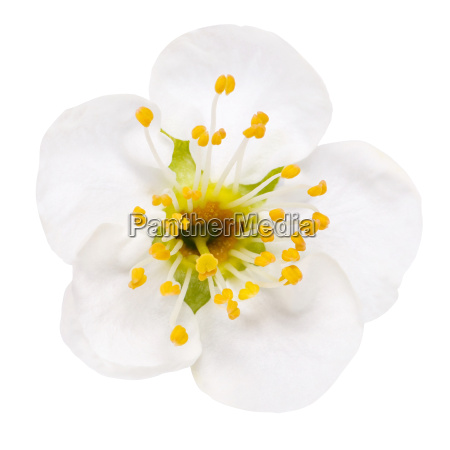 white flowers of cherry blossom isolated