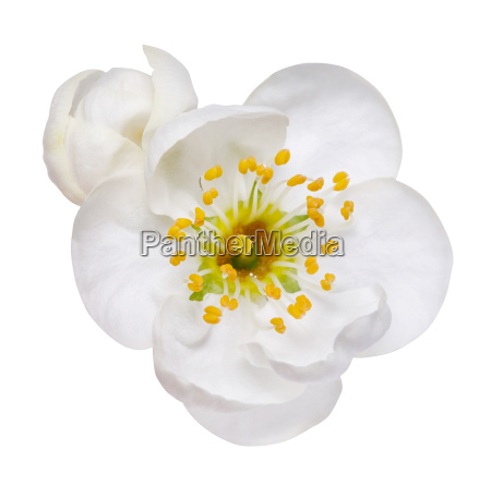 white flowers of plum blossom isolated