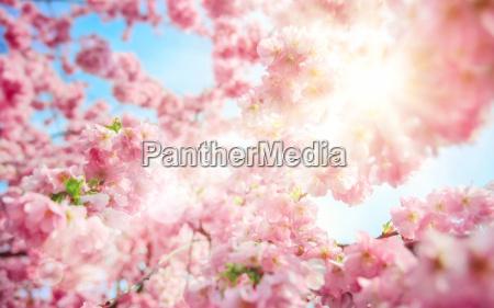 the sun shines through fresh cherry
