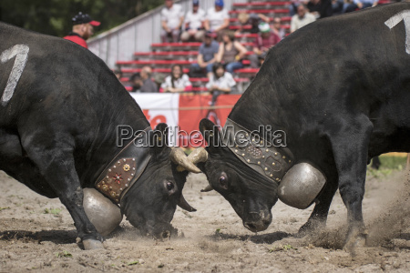 cow fighting is a traditional swiss