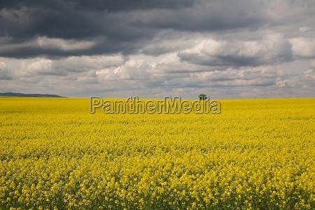 rapeseed field landscape