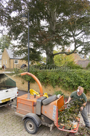 arborist chipping copper beech tree branches