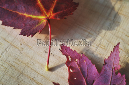 close up of autumn leaves on