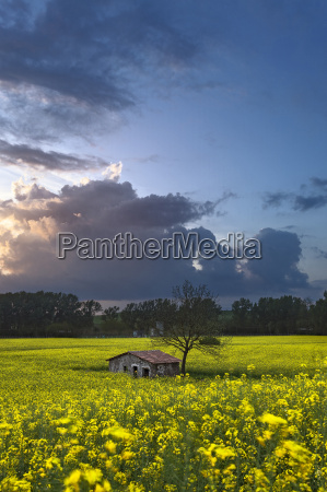 abandoned shed in a yellow canola