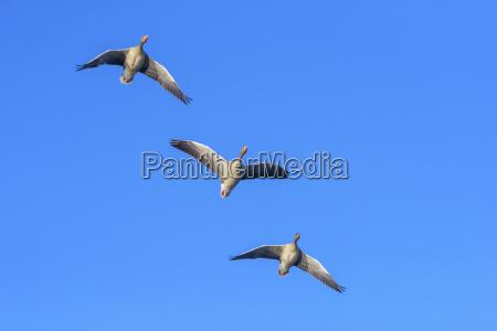 greylag geese anser anser flying hesse