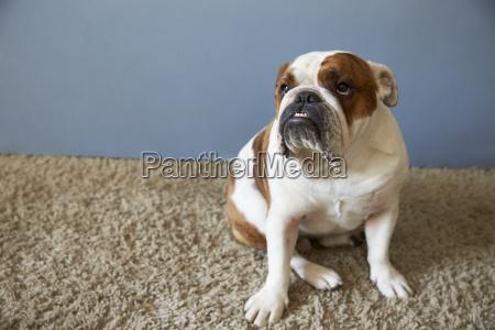 haustier britische bulldogge sitzt auf teppich