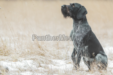 german wirehaired pointer sitting on snow